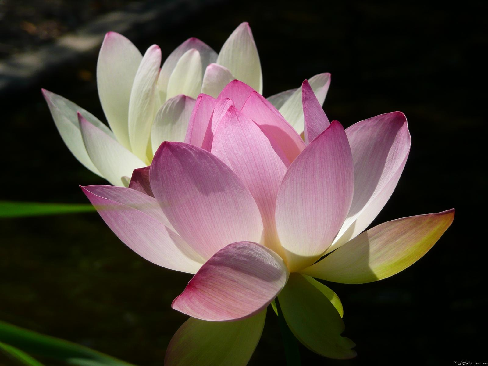 Mlewallpapers Pair Of Lotus Flowers Ii