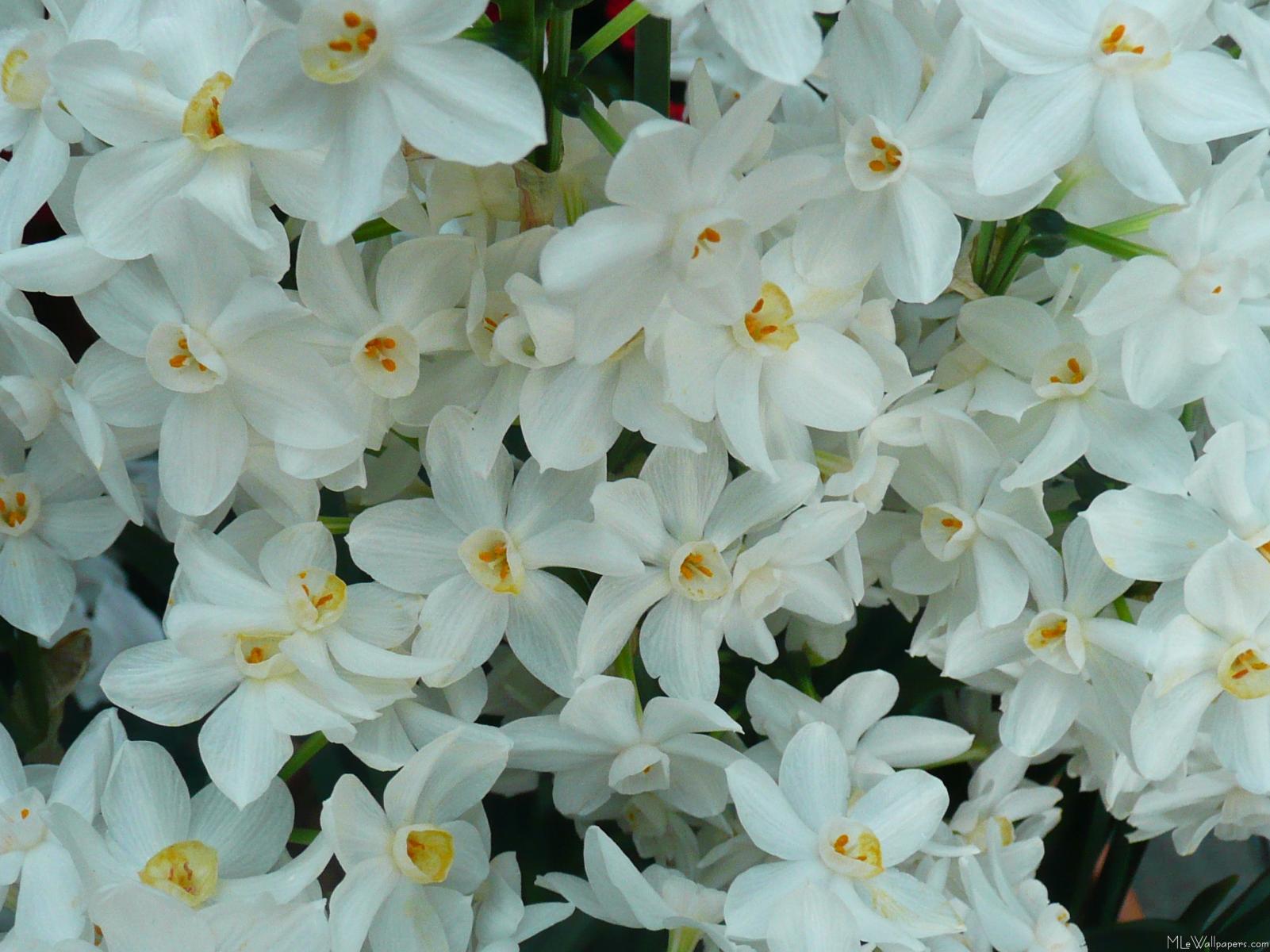 MLeWallpapers.com - Daffodils