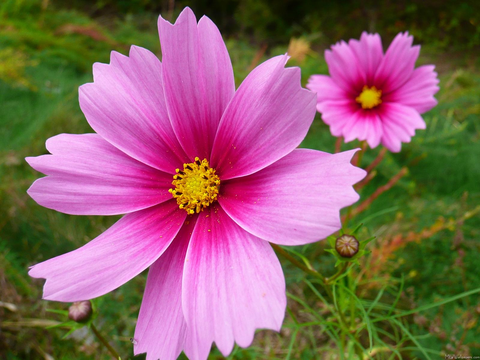 Daisys Mlewallpapers Com Pink Cosmos Flowers