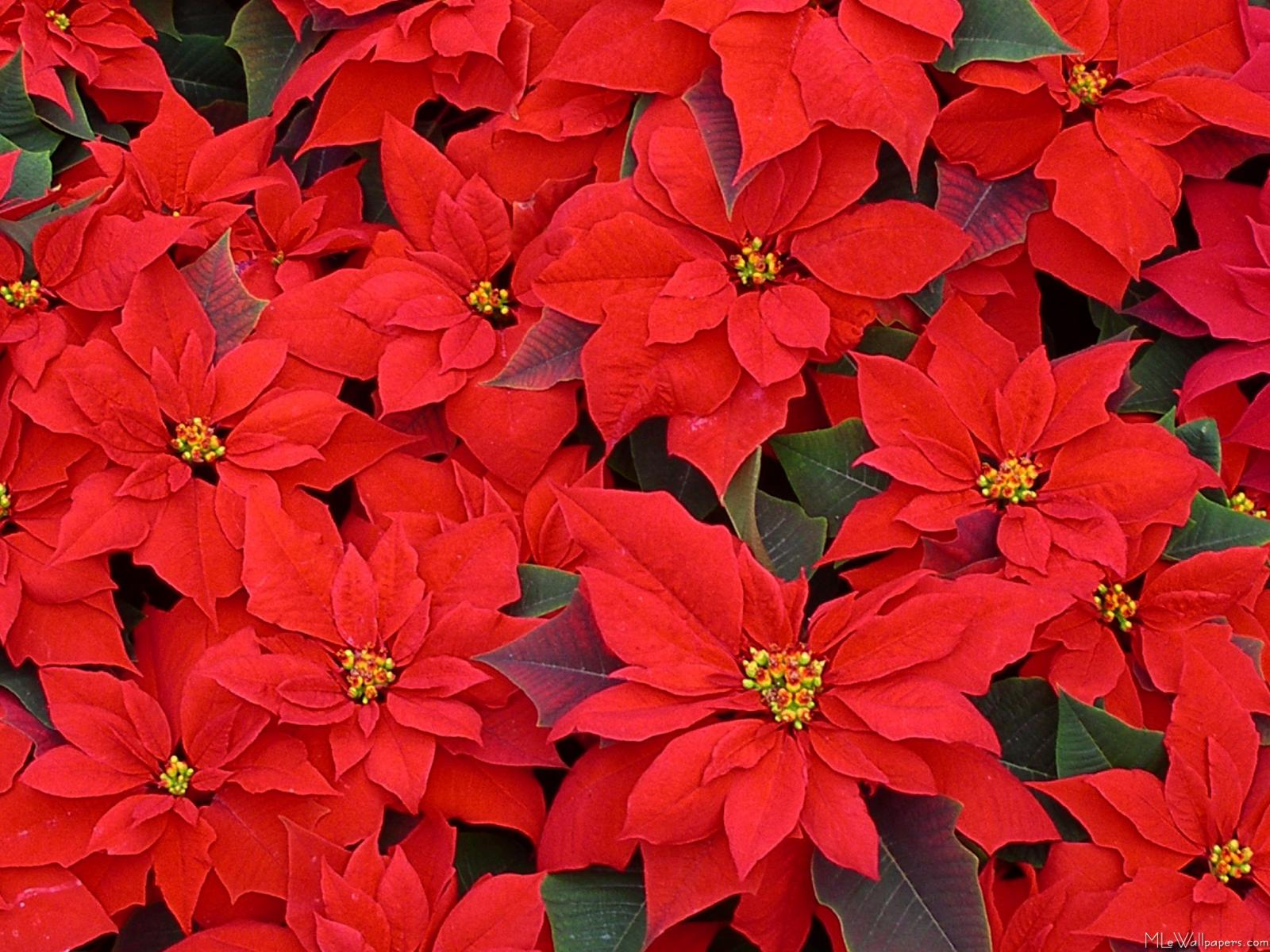 or red poinsettia - photo #1