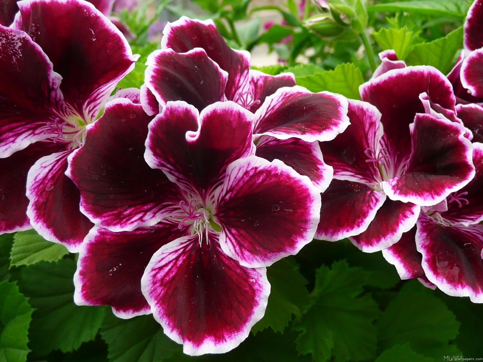 MLeWallpapers Regal Geranium Flowers