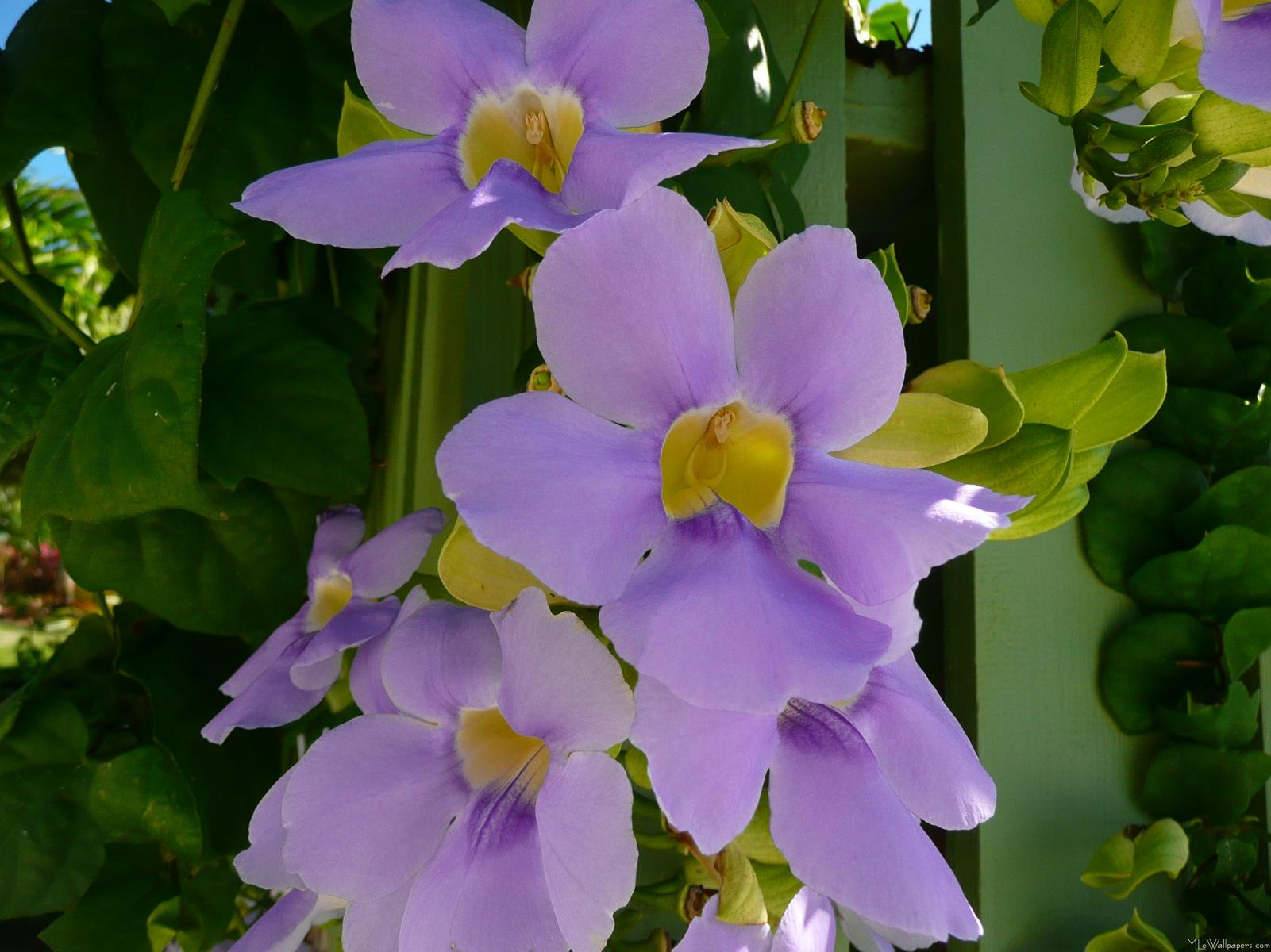 Mlewallpapers Com Sky Flower Vine
