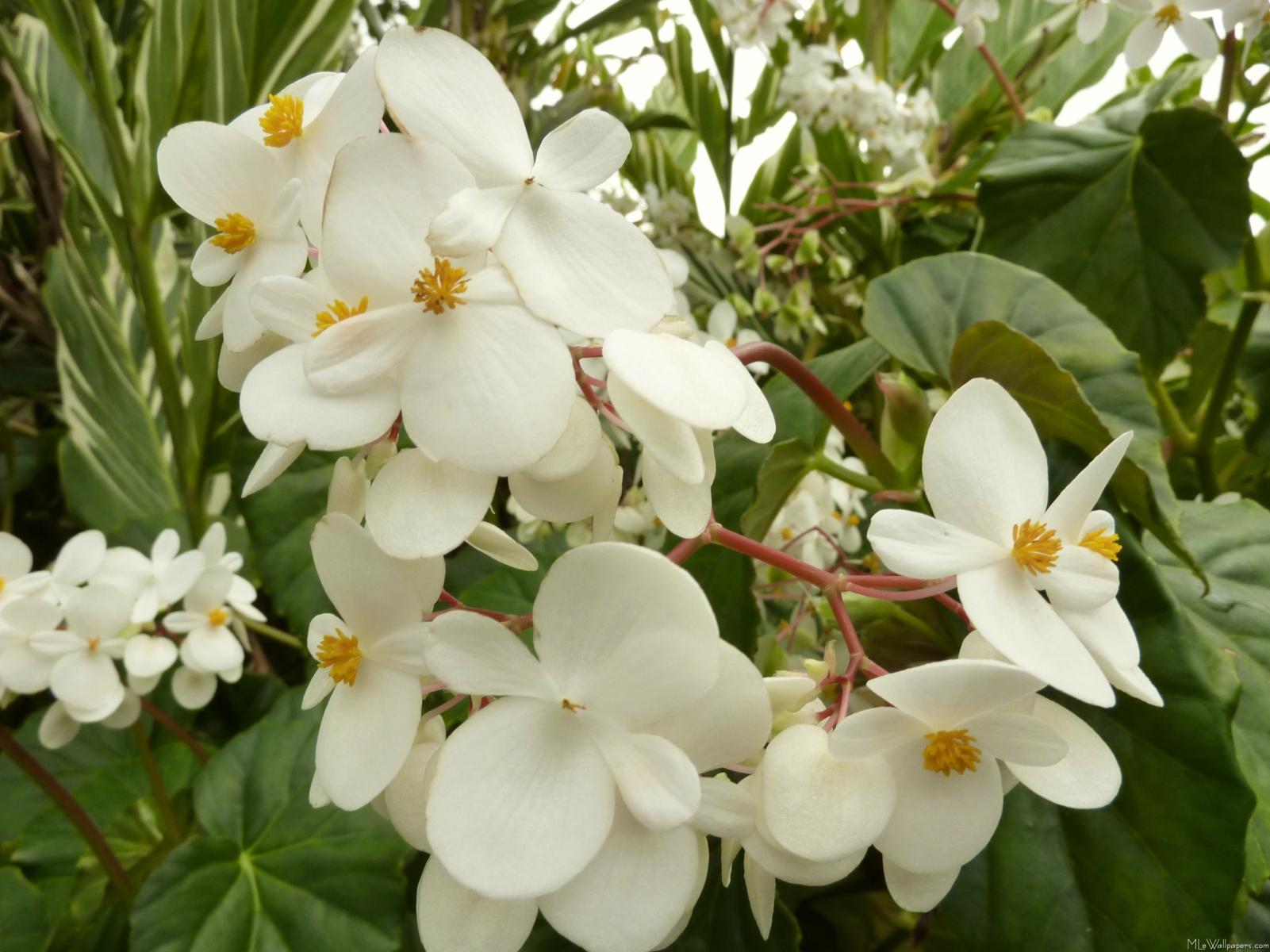Mlewallpapers tropical white begonia flowers tropical white begonia flowers mightylinksfo