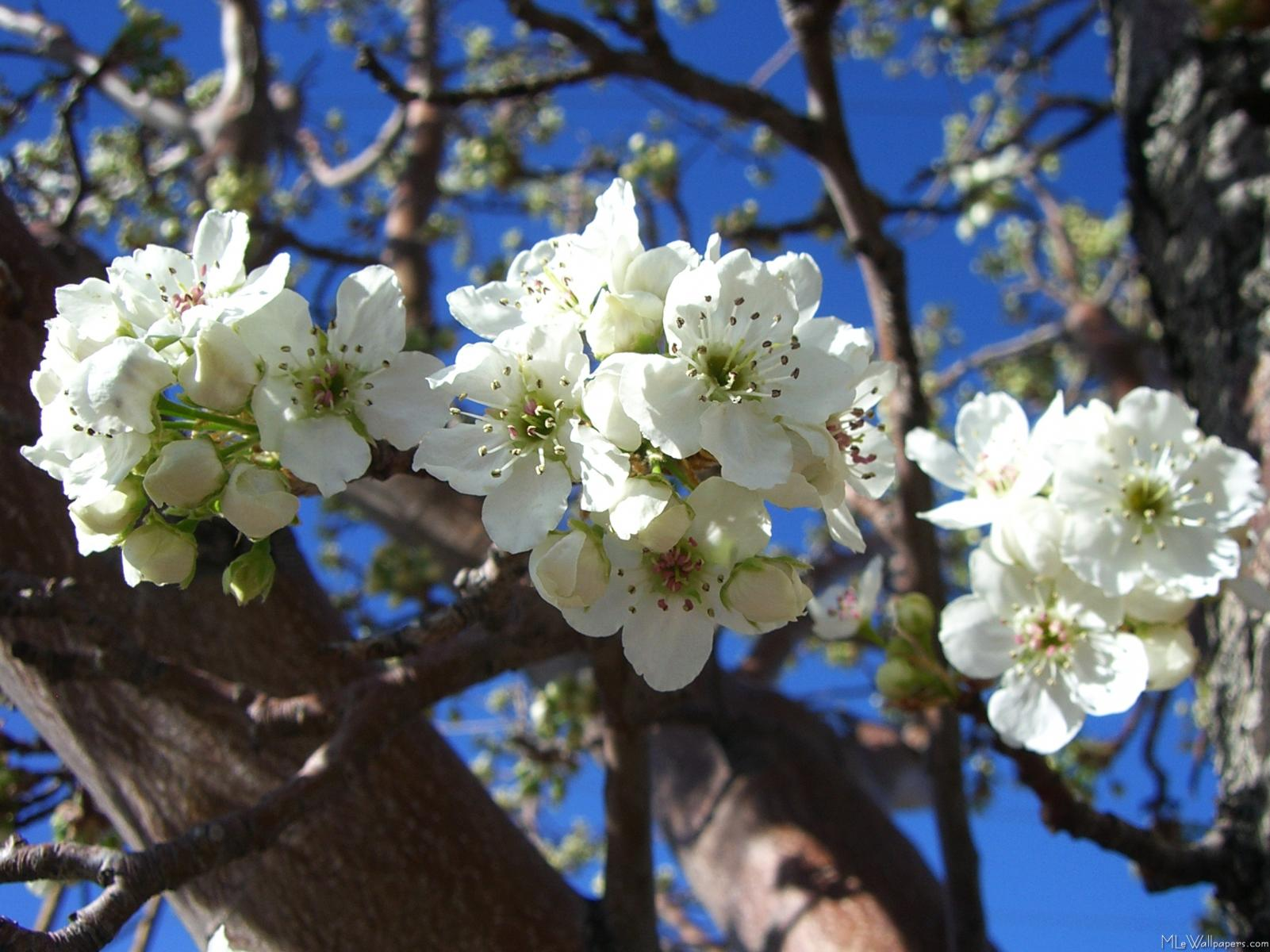 Mlewallpapers white blossom clusters white blossom clusters mightylinksfo