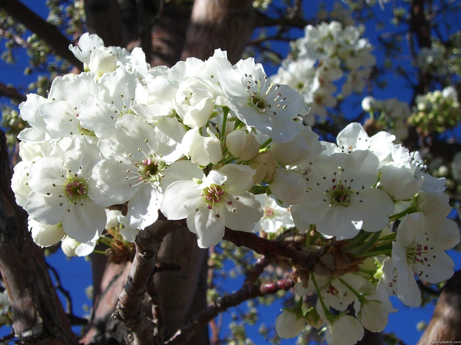 Tree Identification White Flowers Images Fresh Lotus Flowers