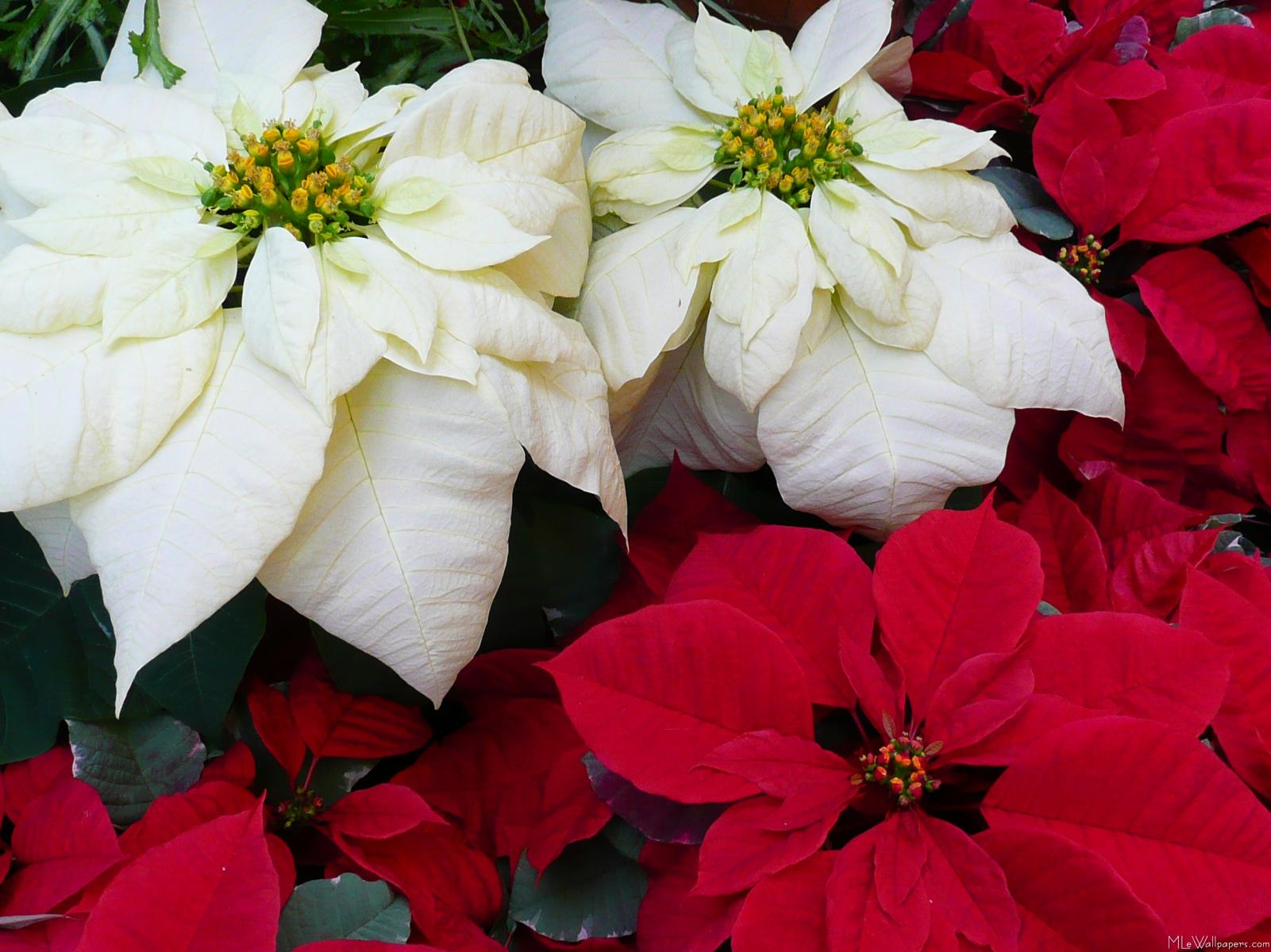 Mlewallpapers White And Red Poinsettias Ii