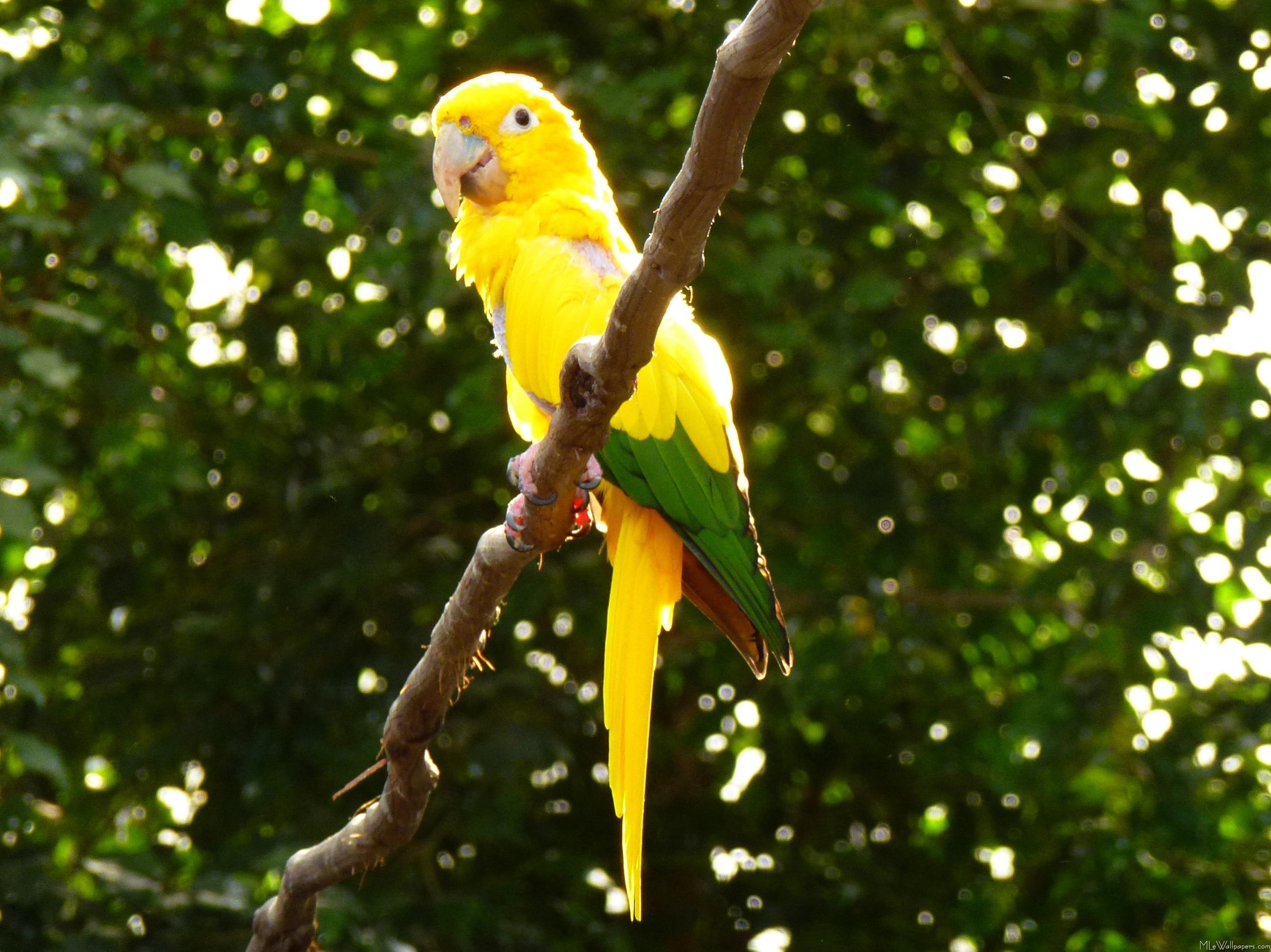 MLeWallpapers com - Yellow Parrot