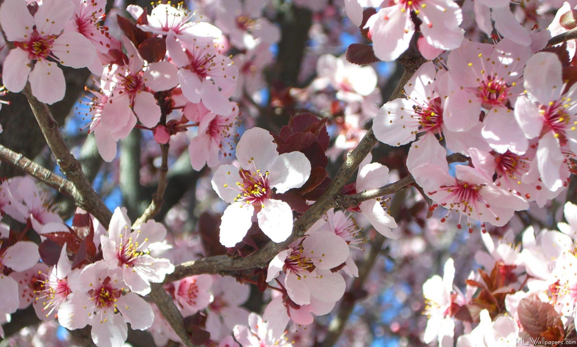 Mlewallpapers Branch Of Pink Blossoms