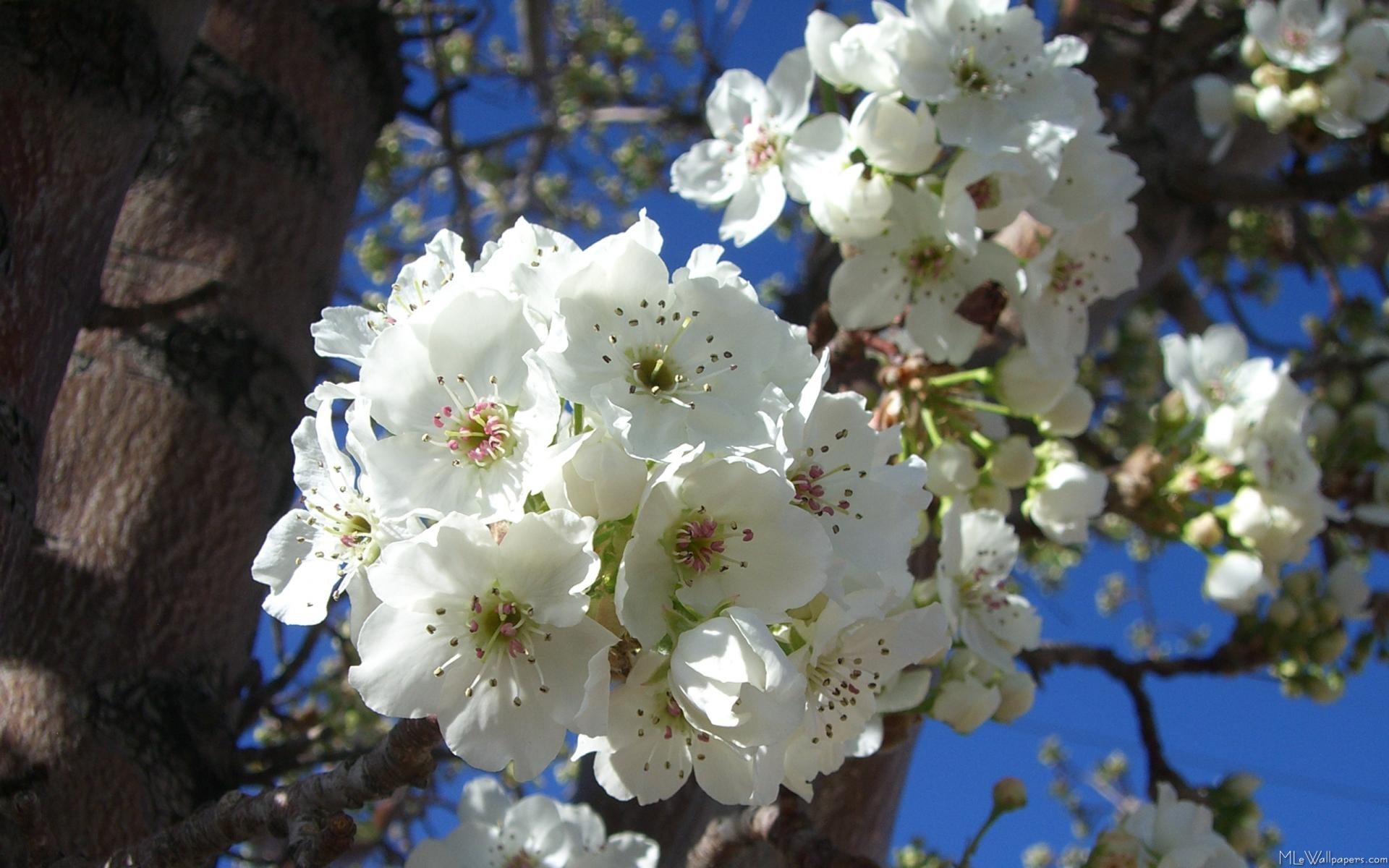 Mlewallpapers white blossoms i white blossoms i mightylinksfo Choice Image