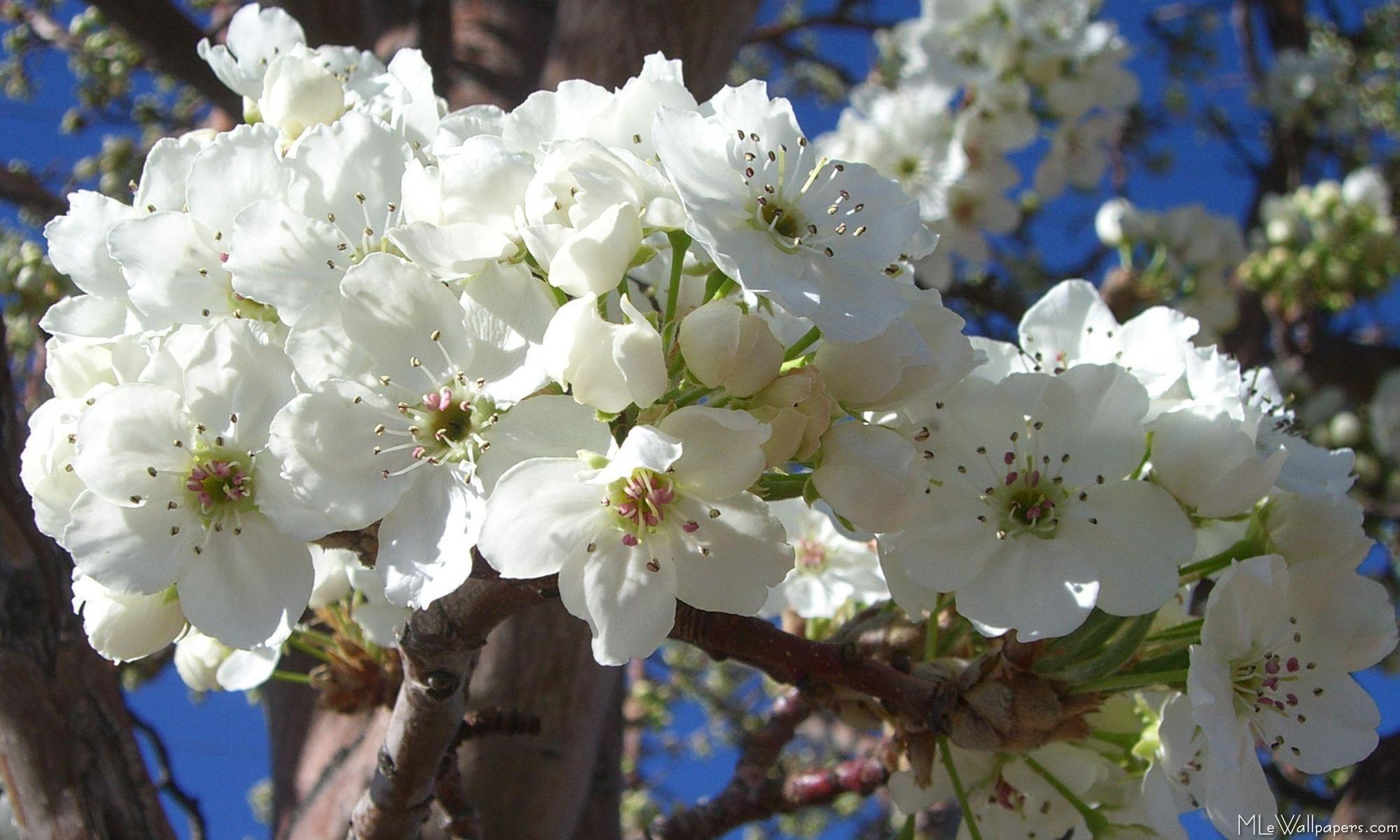 Mlewallpapers white blossoms ii white blossoms ii mightylinksfo Gallery