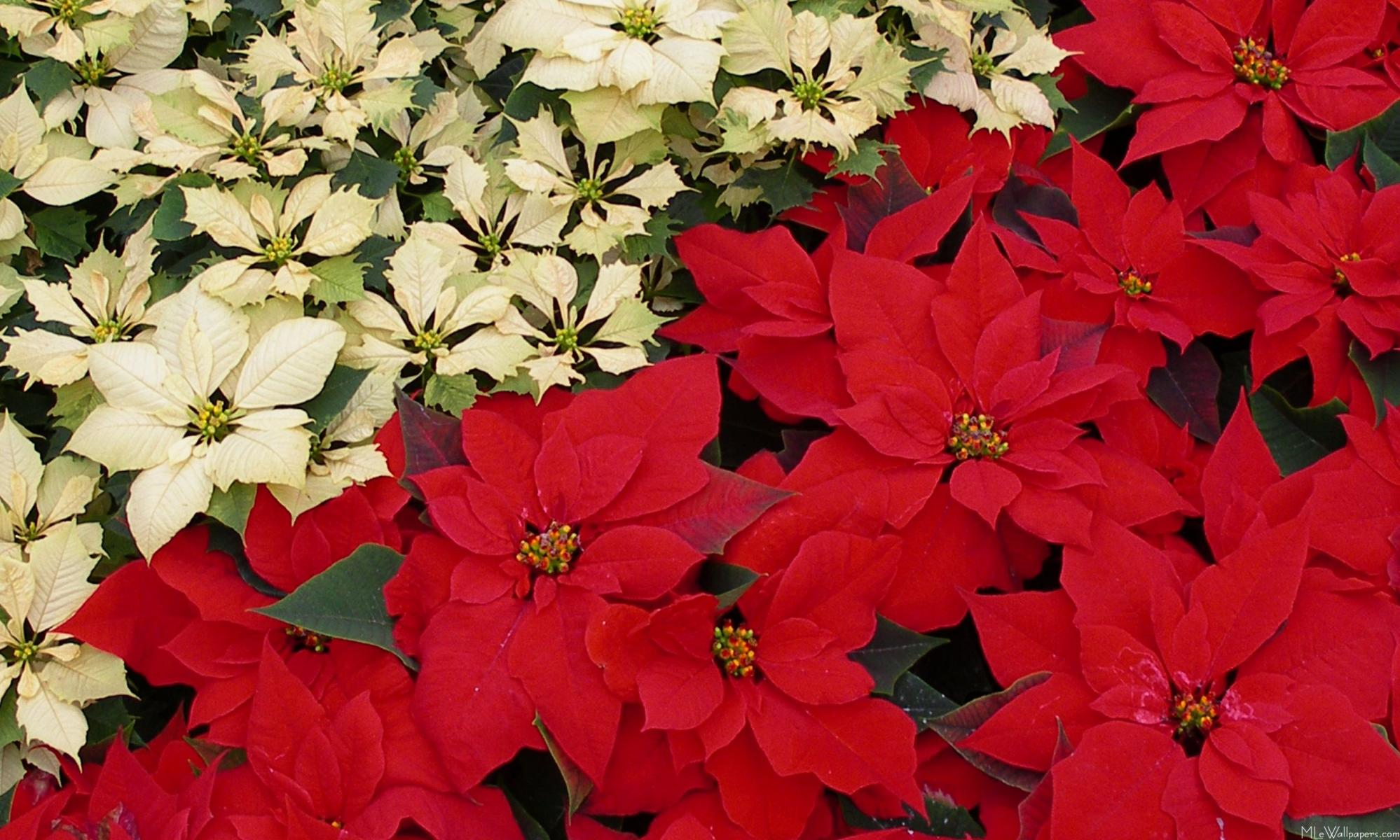 or red poinsettia - photo #3