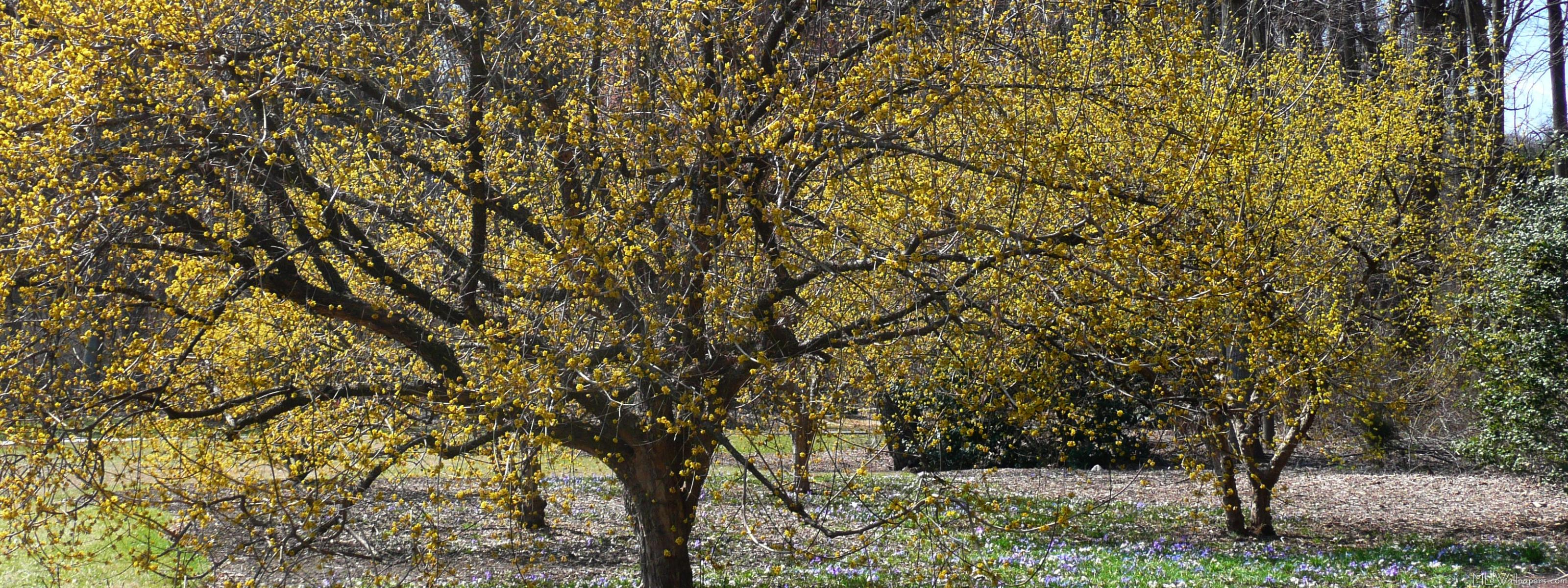 Cornelian Cherry Dogwood And Glory Of The Snow