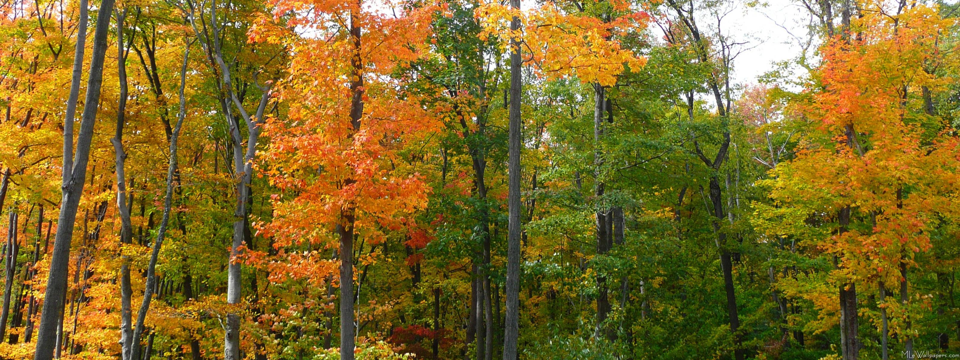 Maple Trees TreePicturescom 3678284 - iyashi-top.info