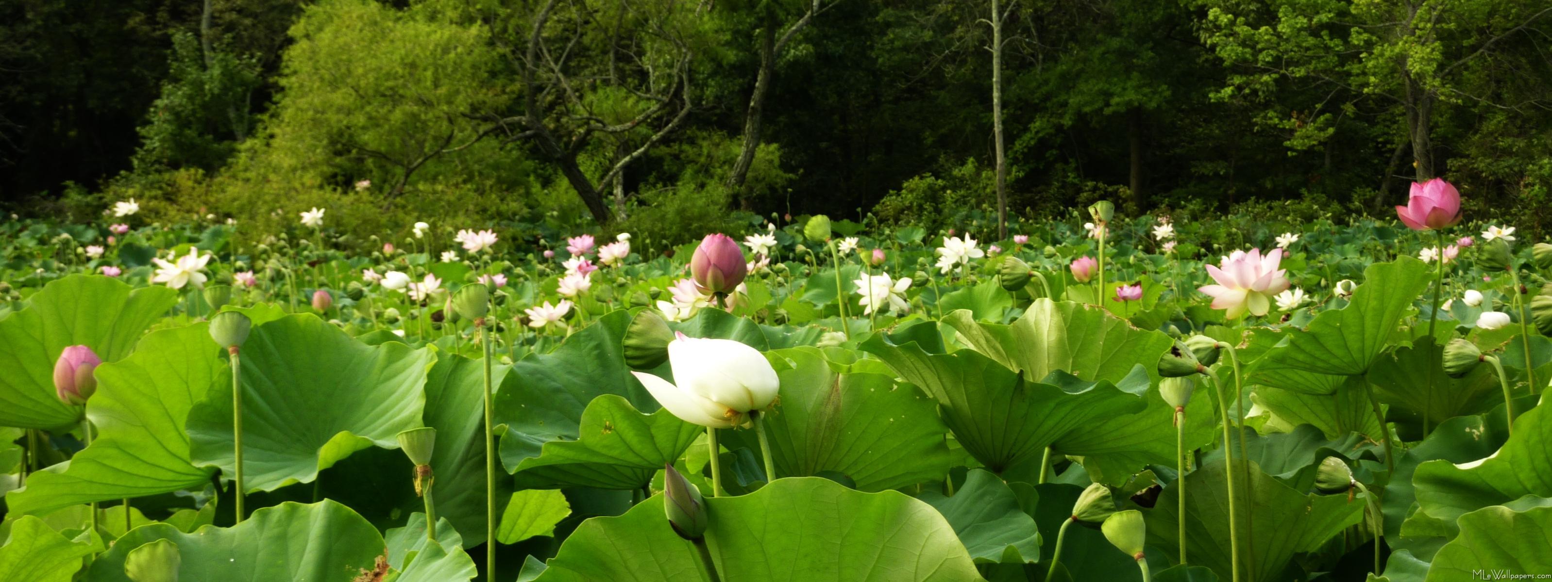 Mlewallpapers Com Field Of Lotus Flowers