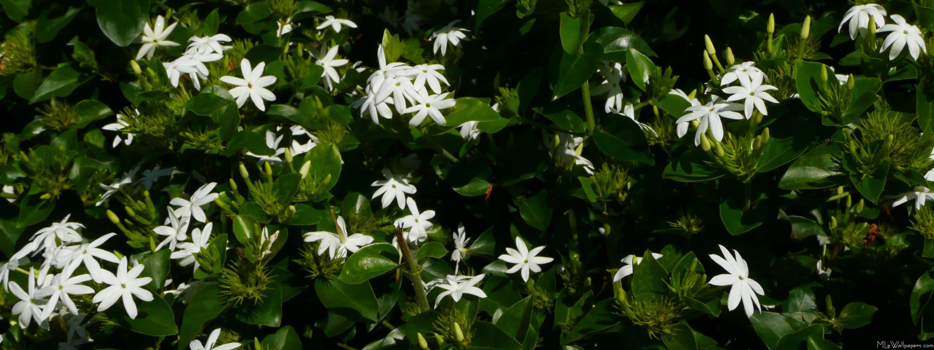MLeWallpapers Jasmine Flowers