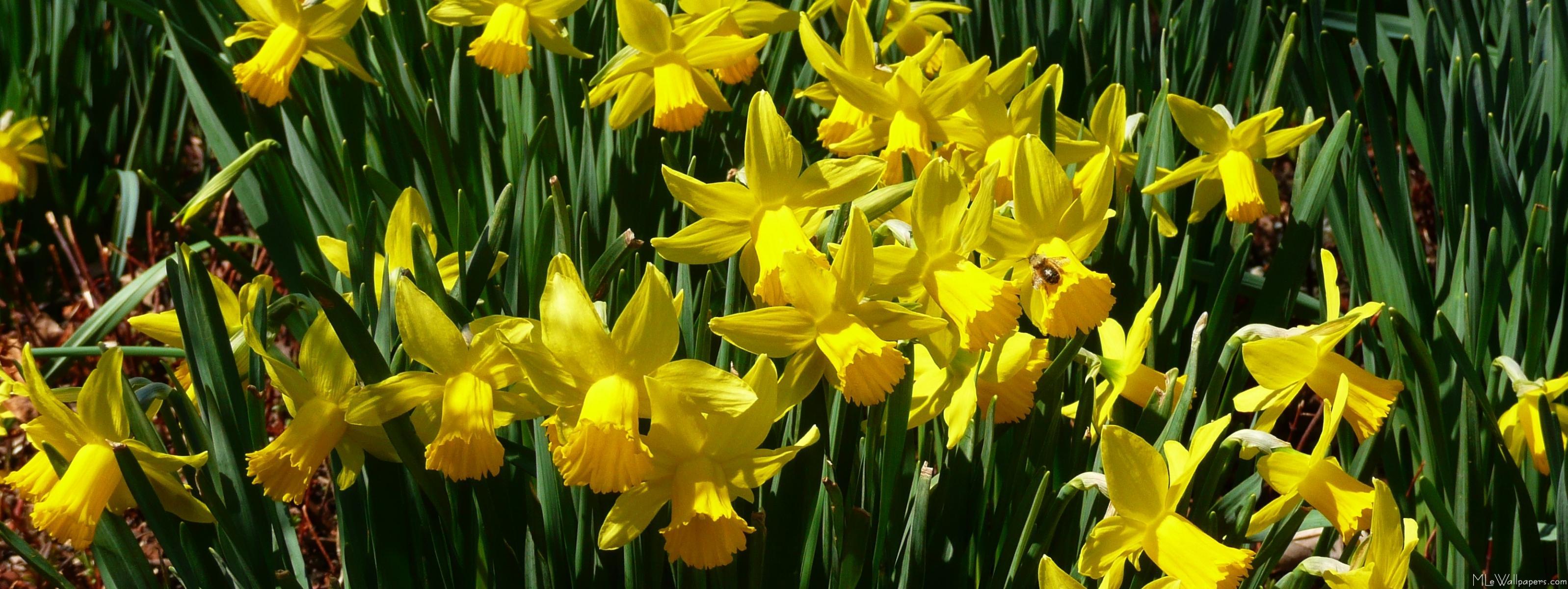 Yellow Daffodils Wallpaper Yellow Daffodils i